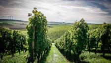 Tour Nr. 21 Wipfelder Zehntgrafen-Weinweg