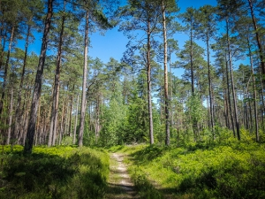 Pfad durch lichten Wald