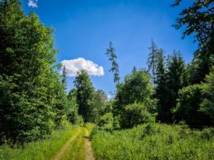 Lichter Weg durch offenen Wald